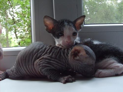 Питомник Chunga-Changa*UA предлагает котят породы донской сфинкс.