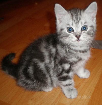 2 месяца.  Порода.  Рубрика.  Ольга.  Британские и шотландские вислоухие котятки мраморного окраса...