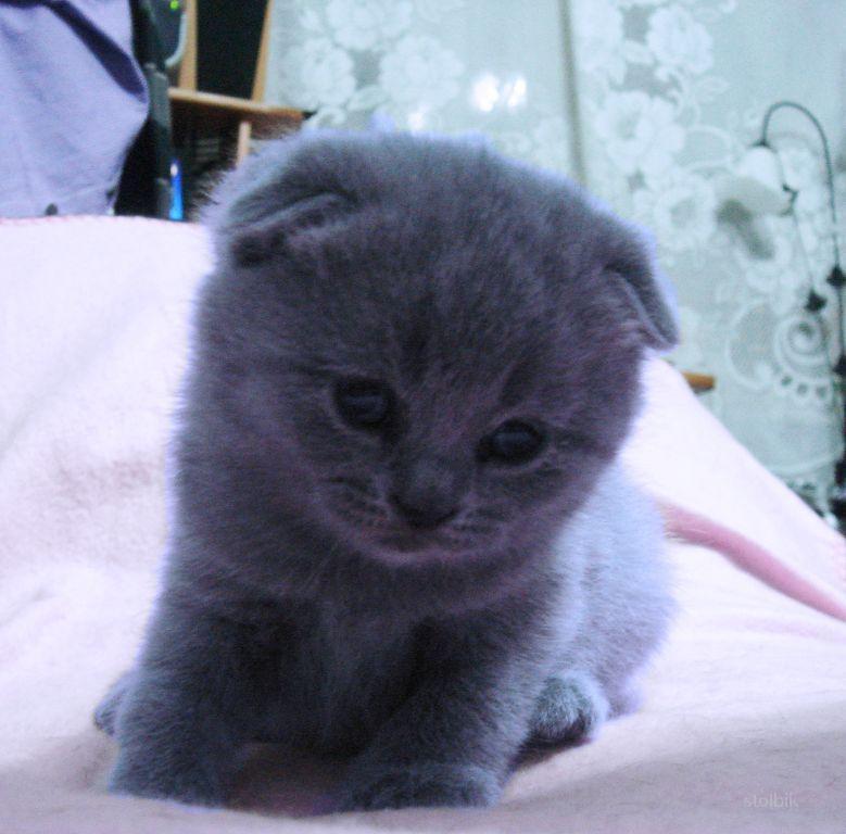 Фото котят шотландских вислоухих серых