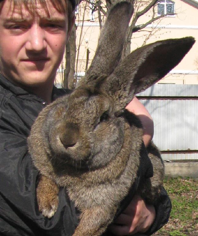 Продажа Кроликов-гигантов породы: Фландр, Ризен, Обер. - Россия