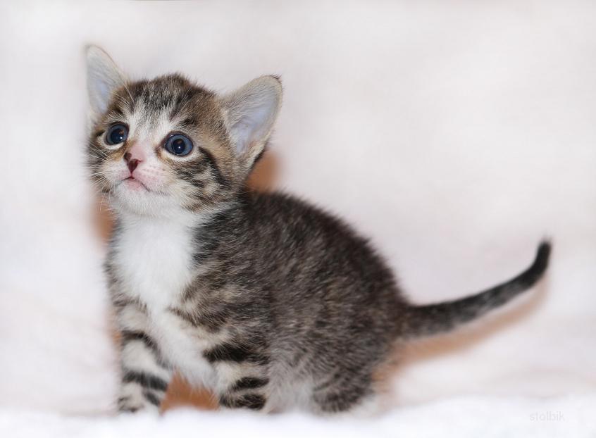 Отдается в добрые руки котенок-девочка - Россия.