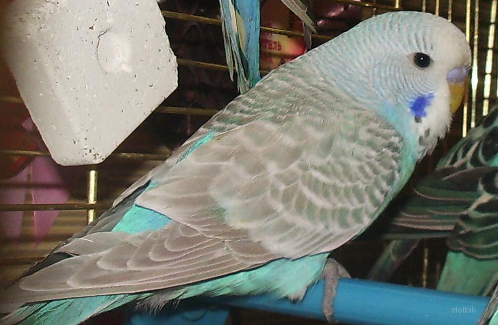 Пение самки волнистого попугая