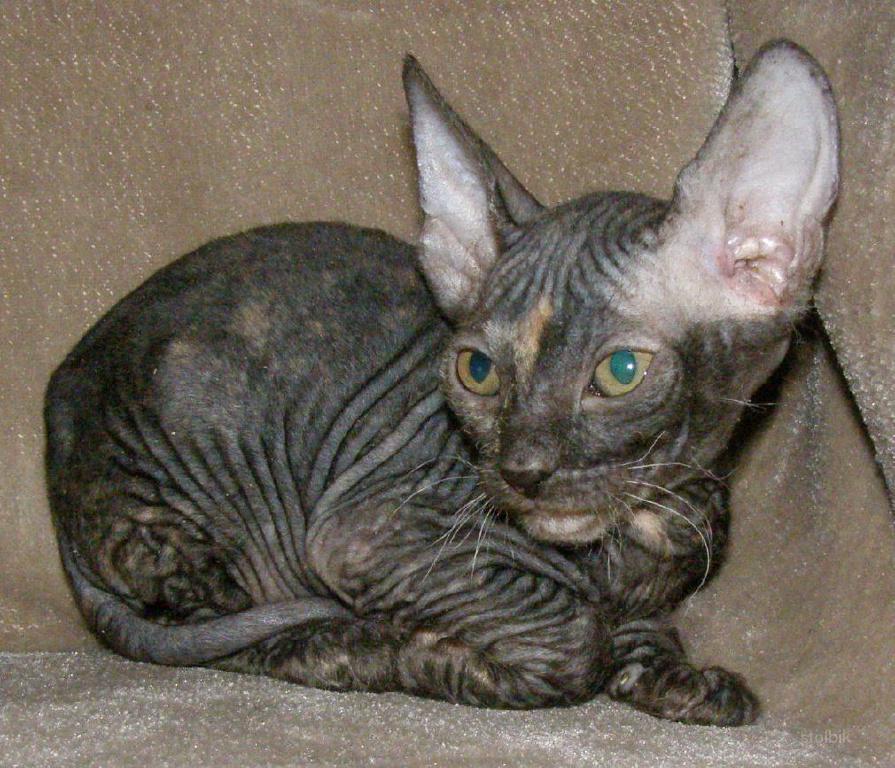 Кошка сфинкс велюровый фото