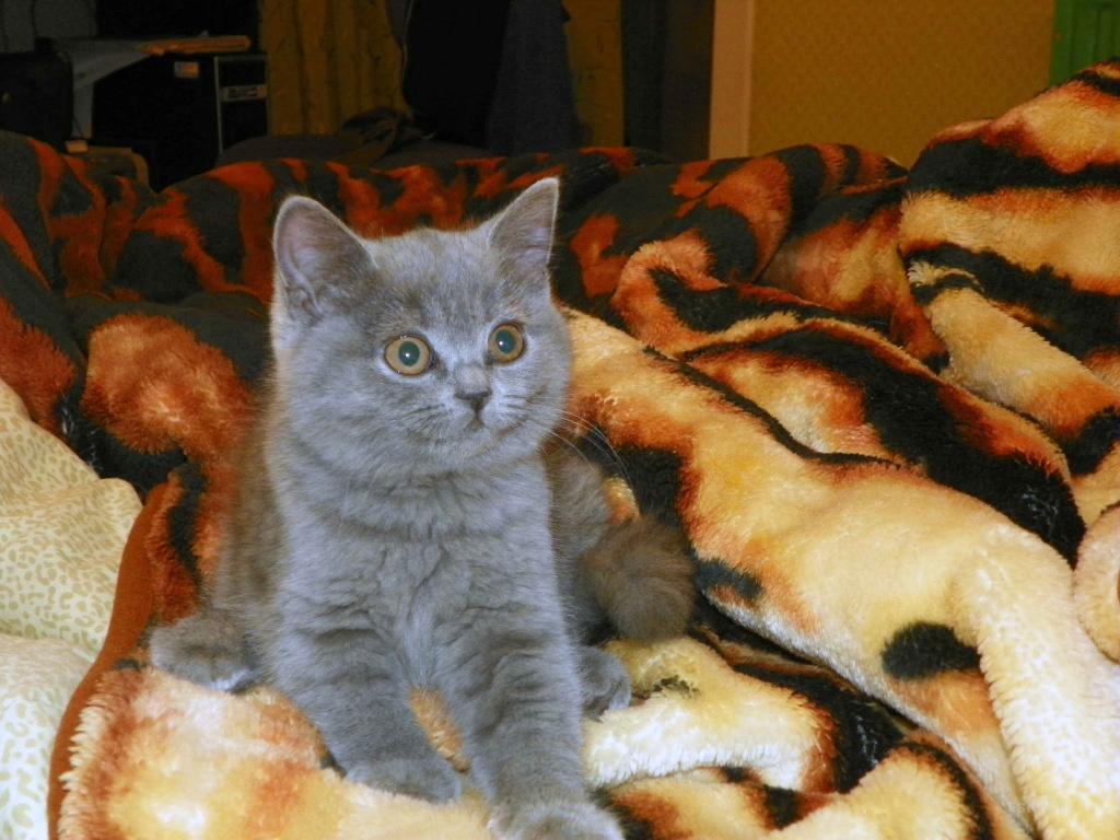 британские котята от 2 месяцев с фото