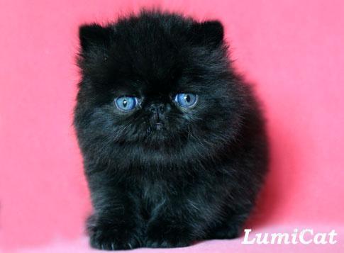 которые выдают где купить персидского котенка в москве это специальное обращение