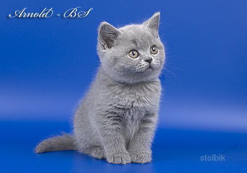 купить британского котенка в спасске дальнем необыкновенный